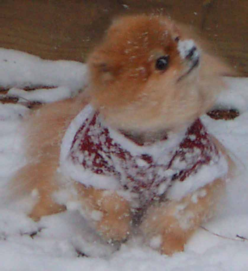 pom playing in snow